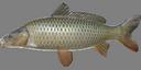 common_carp.png